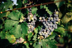 invaiatura uva vini pupillo